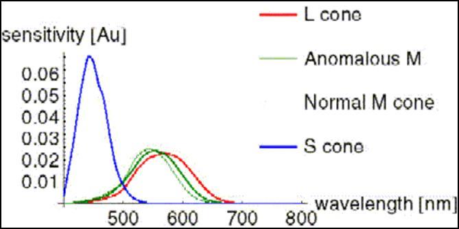 23e25b024 Citlivosť L a S zmyslových buniek je rovnaká, ale citlivosť nesprávne  činných M čapíkov sa posunula v smere L čapíkov.